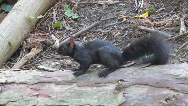 Torontonian Grey Squirrel