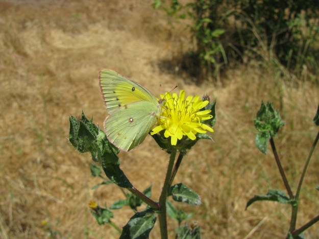 Harford's Sulphur Butterfly (a US species) on Bristly Oxtongue. Photo credit below.