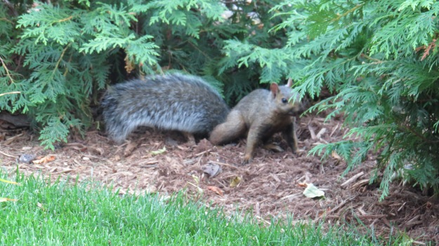 Black-brown squirrel from Collingwood, Ontarioi