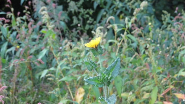 Bristly Oxtongue (Helminthotheca echoides)