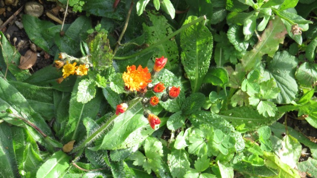 Fox-and-cubs (Pilosella aurantiaca)