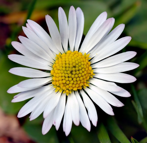 """Bellis perennis white (aka)"" by André Karwath aka Aka - Own work. Licensed under CC BY-SA 2.5 via Commons - https://commons.wikimedia.org/wiki/File:Bellis_perennis_white_(aka).jpg#/media/File:Bellis_perennis_white_(aka).jpg"