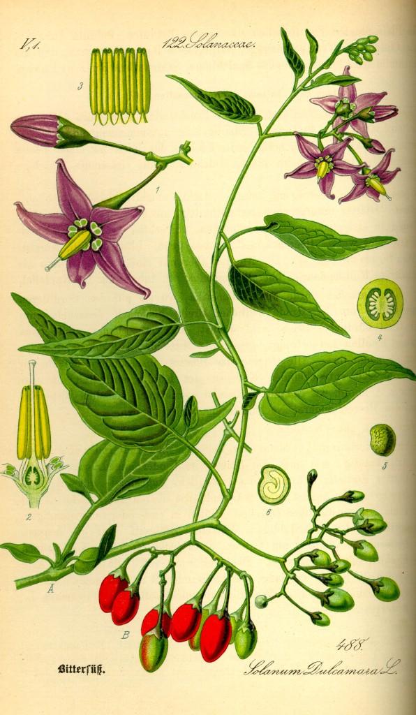 Bittersweet (Solanum dulcamara). Photo credit below