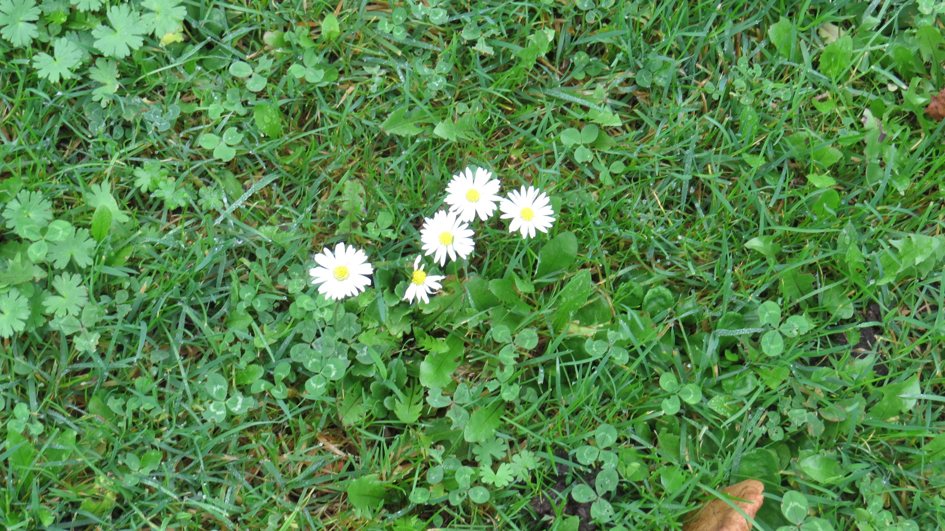 singapore daisy weed how to kill