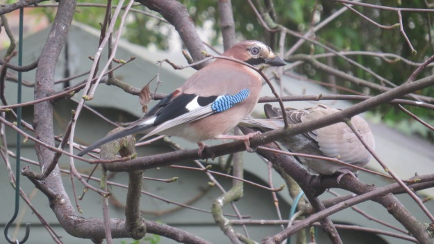 A jay in my garden last week