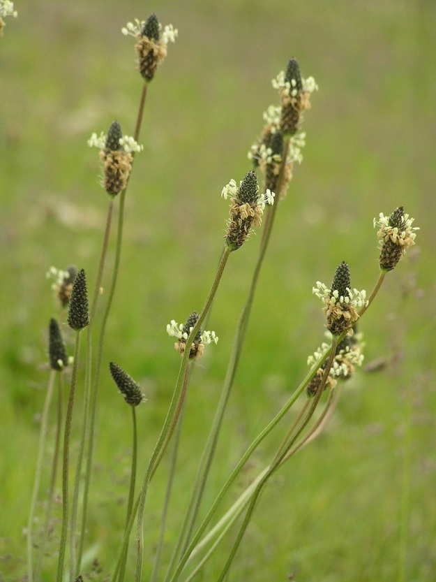 """Plantago lanceolata P6200323 箆大葉子、ヘラオオバコ"" by 膀胱眼球胎 - 膀胱眼球胎. Licensed under CC BY-SA 3.0 via Commons - https://commons.wikimedia.org/wiki/File:Plantago_lanceolata_P6200323_%E7%AE%86%E5%A4%A7%E8%91%89%E5%AD%90%E3%80%81%E3%83%98%E3%83%A9%E3%82%AA%E3%82%AA%E3%83%90%E3%82%B3.jpg#/media/File:Plantago_lanceolata_P6200323_%E7%AE%86%E5%A4%A7%E8%91%89%E5%AD%90%E3%80%81%E3%83%98%E3%83%A9%E3%82%AA%E3%82%AA%E3%83%90%E3%82%B3.jpg"