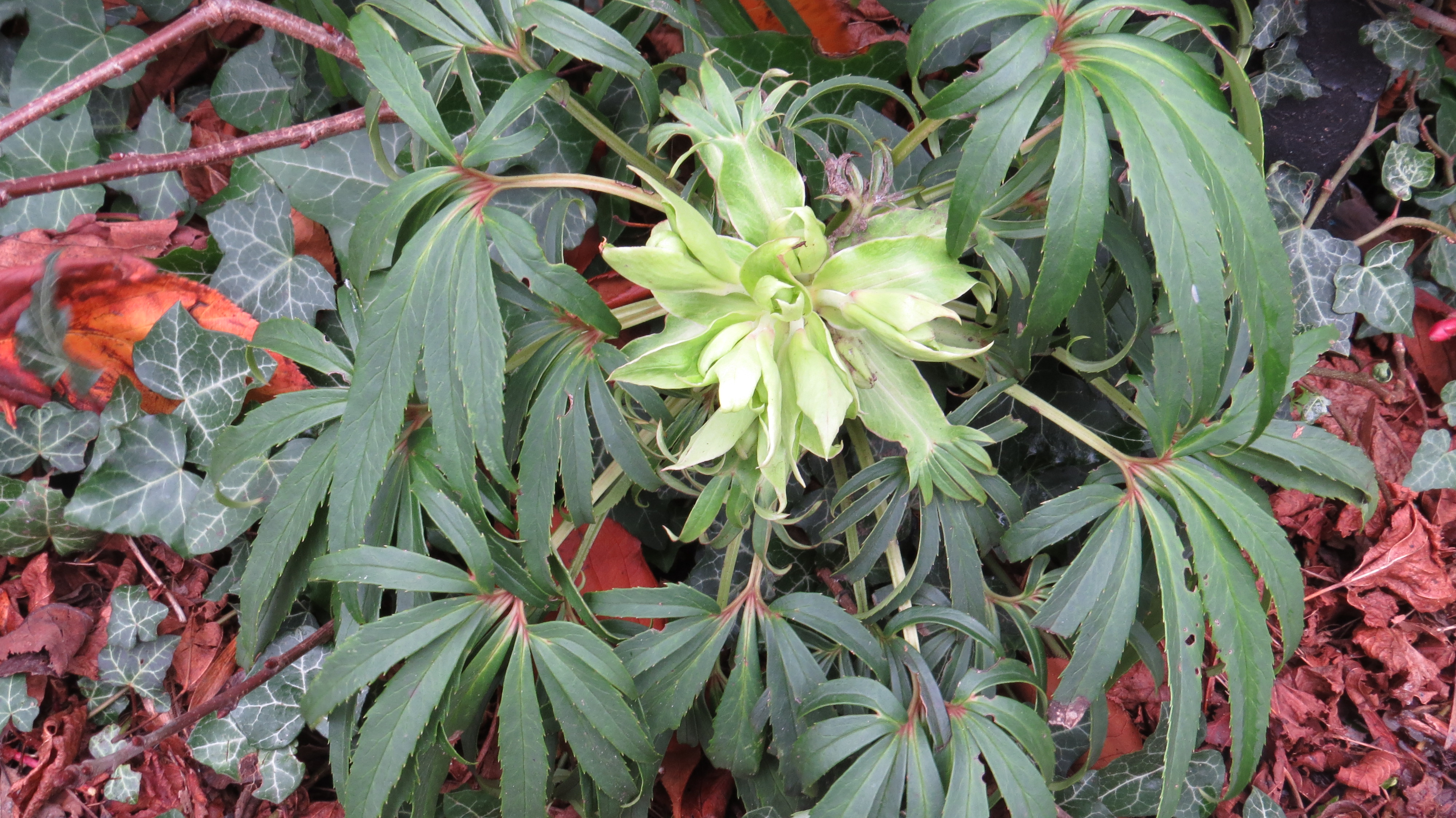 Wednesday Weed Stinking Hellebore Bug Woman Adventures In London