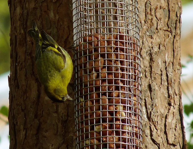 Acrobatic Siskin (Photo Three - credit below)