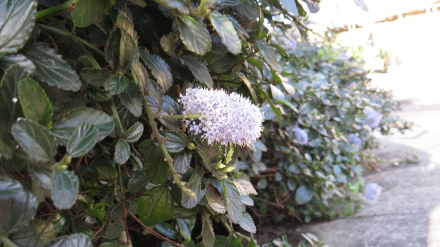 California Lilac (Ceanothus sp) - usually in flower late spring to early summer