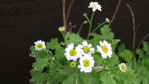 Feverfew (flowers July to September)