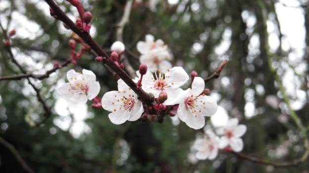 Winter Flowering Cherry (Prunus subhirtella)