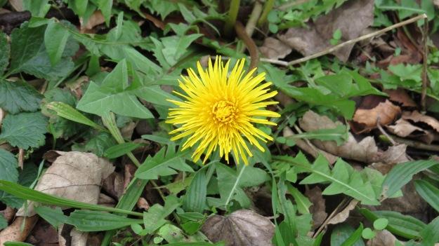 Dandelion (Taraxacum sp.)