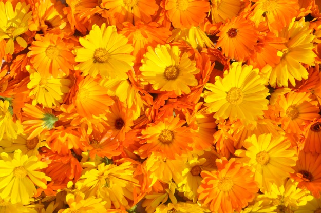 Some of the cultivars of Pot Marigold