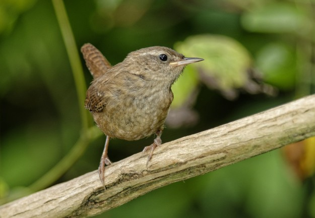A pert wren ( photo by my friend John Humble)