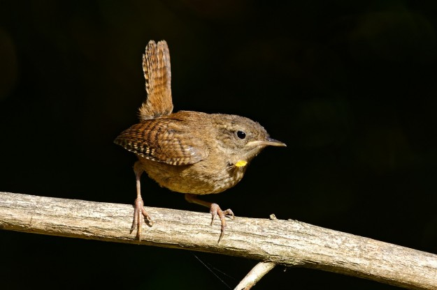 Wren (photo taken by John Humble)