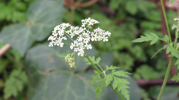 Cow Parsley (Anthriscum sylvestris)