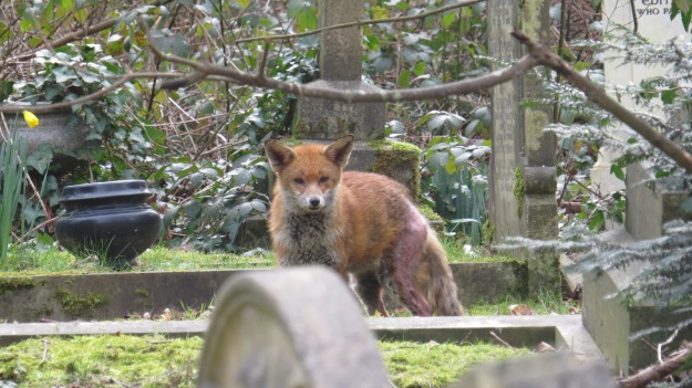 The fox with mange