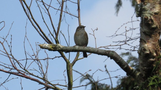 A surprisingly bold dunnock