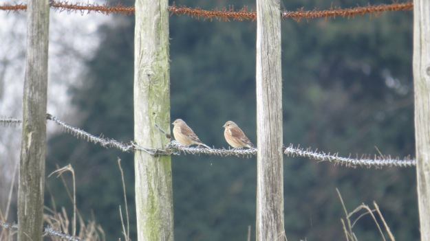 Linnets! (Falls over in a swoon)