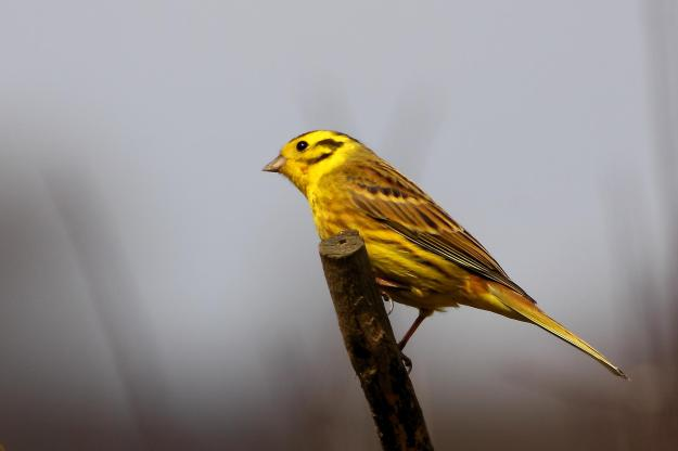By Tim Felce (Airwolfhound) (Yellowhammer - Rutland Water) [CC BY 2.0 (http://creativecommons.org/licenses/by/2.0)], via Wikimedia Commons