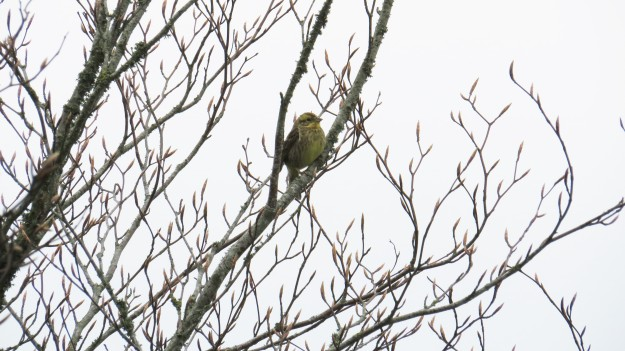 Yellowhammer, at last...