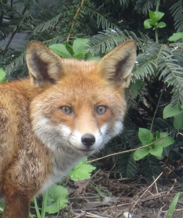 The fox from my garden