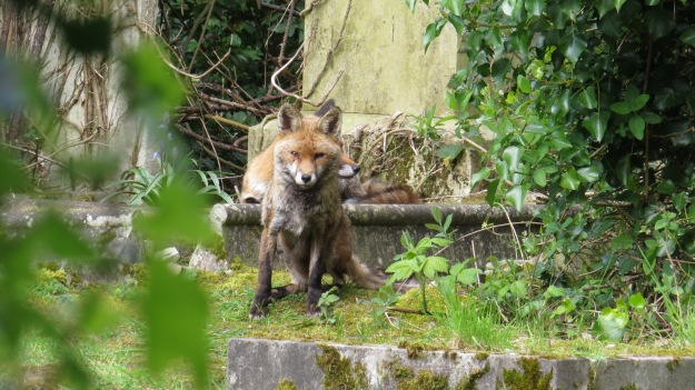 The vixen, with the muzzle of the dog fox just visible behind her