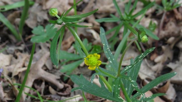 Goldilocks buttercup (Ranunculus auricomus)