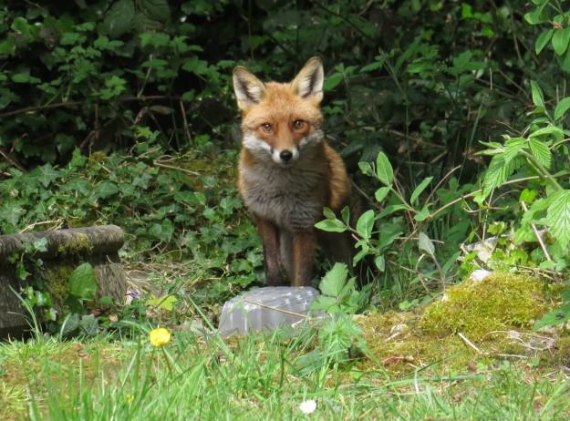 A new fox!