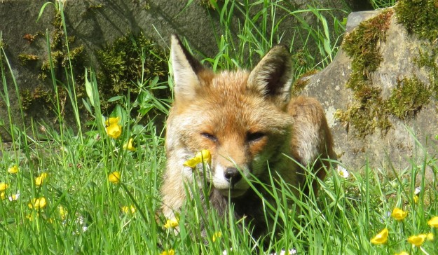 The vixen waiting for her jam sandwiches