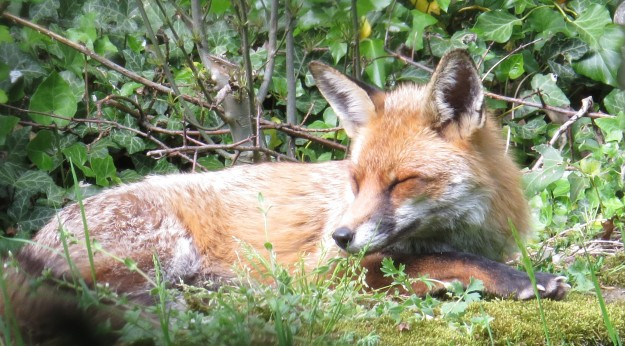 The vixen's very relaxed mate