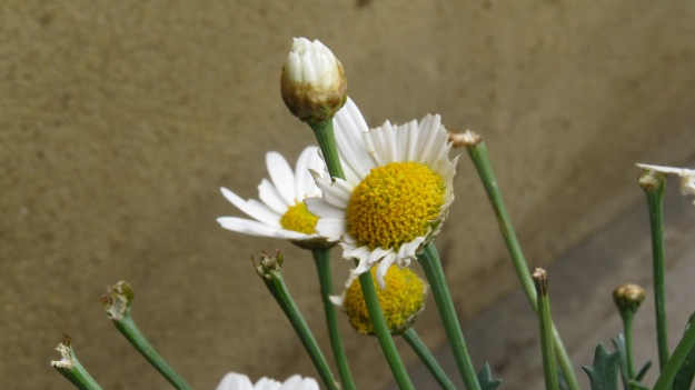Somebody has been eating my ox-eye daisies.