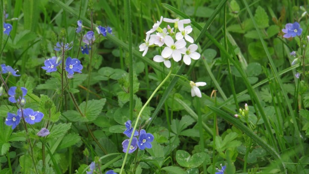Dame's violet and speedwell....