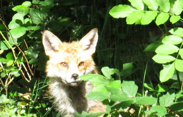 Over-exposed fox....