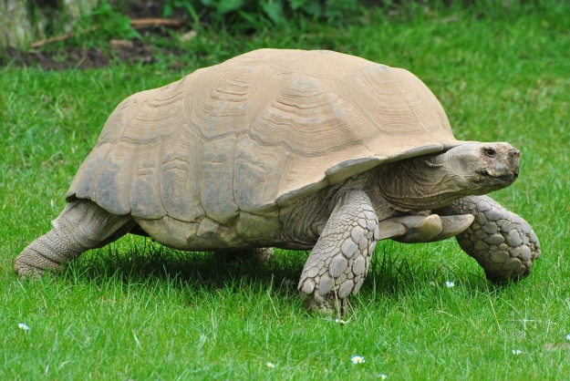 By John5199 (Sulcata Tortoise (5)) [CC BY 2.0 (http://creativecommons.org/licenses/by/2.0)], via Wikimedia Commons