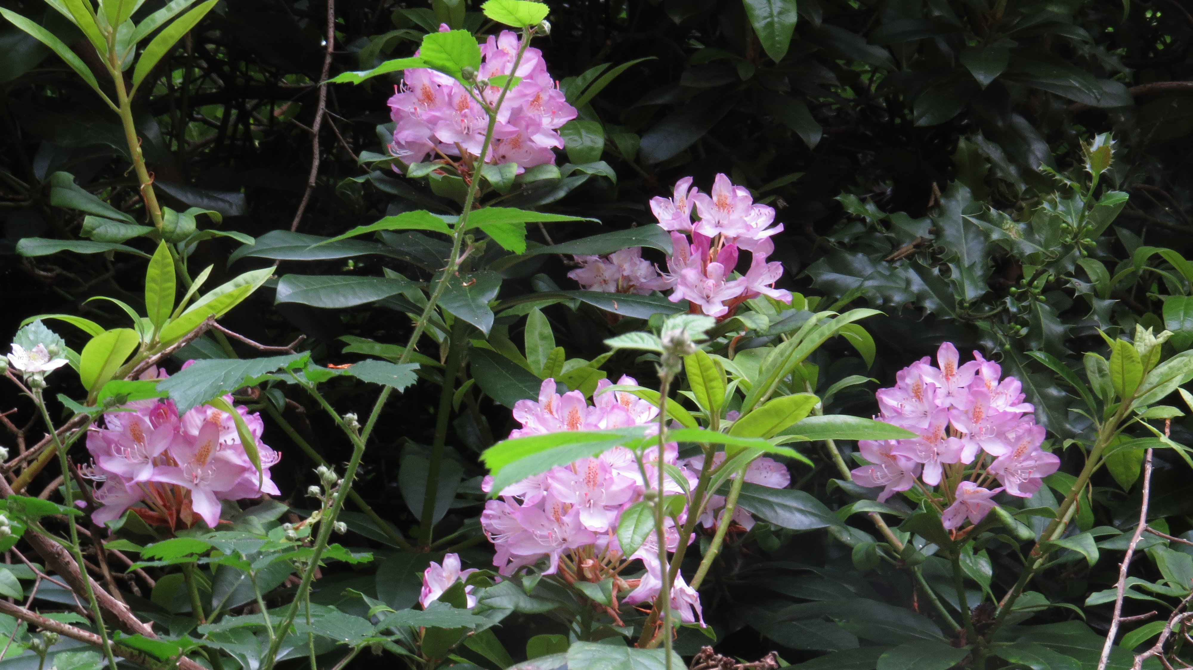 rhododendron women Results 1 - 48 of 205  shop ebay for great deals on rhododendron bushes, shrubs & hedging plants  you'll find new or used products in rhododendron bushes.