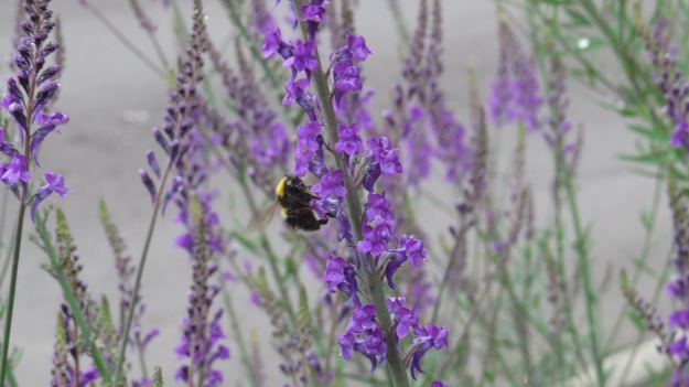 Bumblebee on purple toadflax outside my parents' bungalow