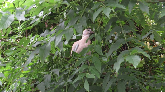 Newly fledged collared dove