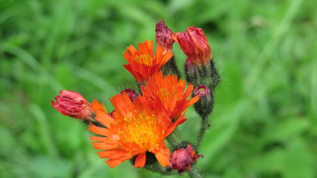 Fox and cubs (Pilosella aurantiaca)