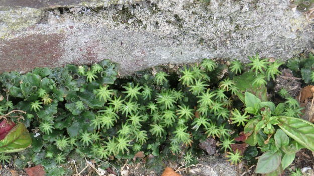 Star-headed Liverwort (Marchantia polymorpha)