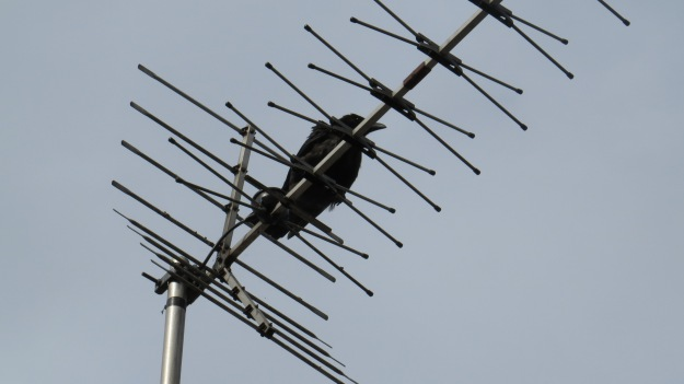 Parent crow