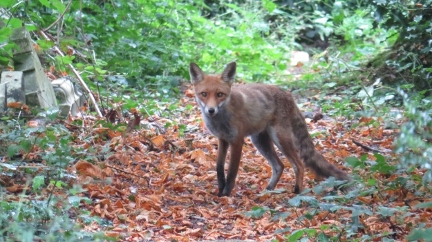 Female fox cub ( I think)