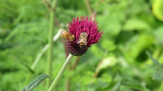 Bees on Cirsium atropurpureum