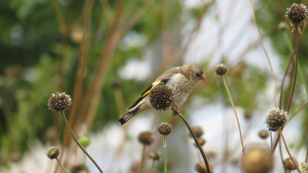 Young goldfinch at the Olympic Park
