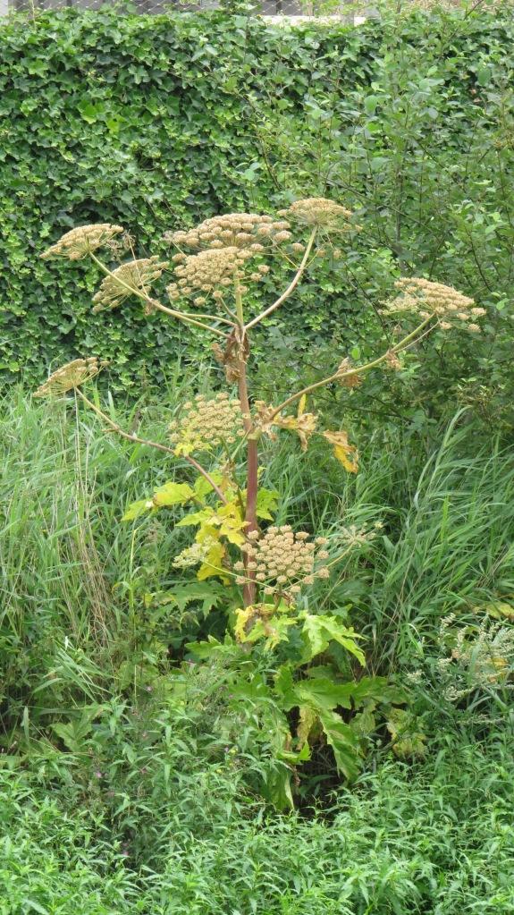 Giant Hogweed (Heracleum mantegazzianum)