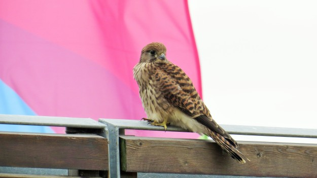 Kestrel at the Olympic Park