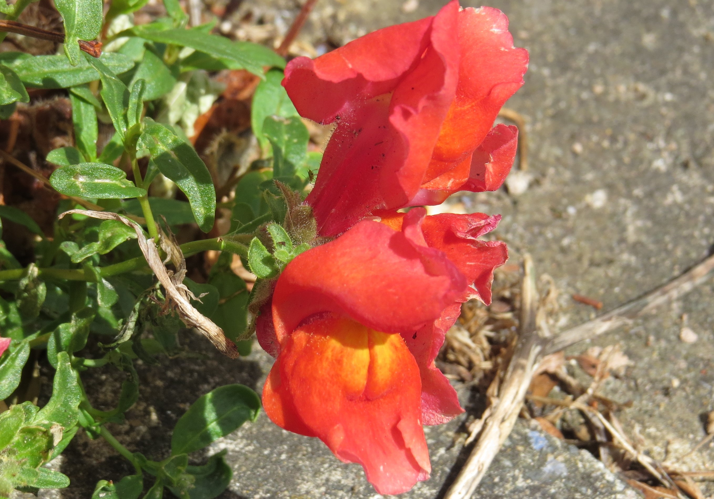 Wednesday Weed – Snapdragon | Bug Woman – Adventures in London