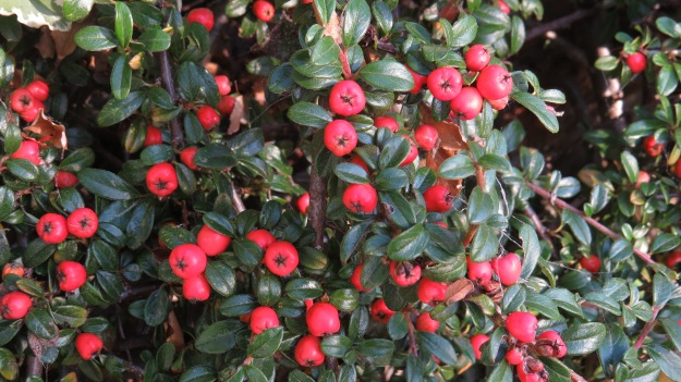 Wall cotoneaster (Cotoneaster horizontalis)