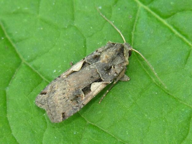 Setaceous Hebrew Character Moth (Xestia.c-nigrum)- Public Domain