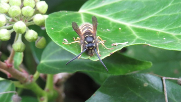 Common Wasp (Queen)